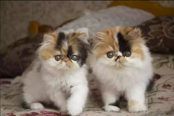 Important bloodline Persian kitten for sale