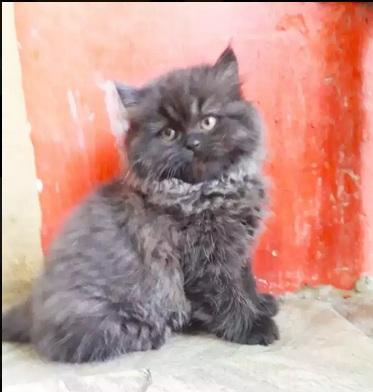 Persian home breed black kitten starting price